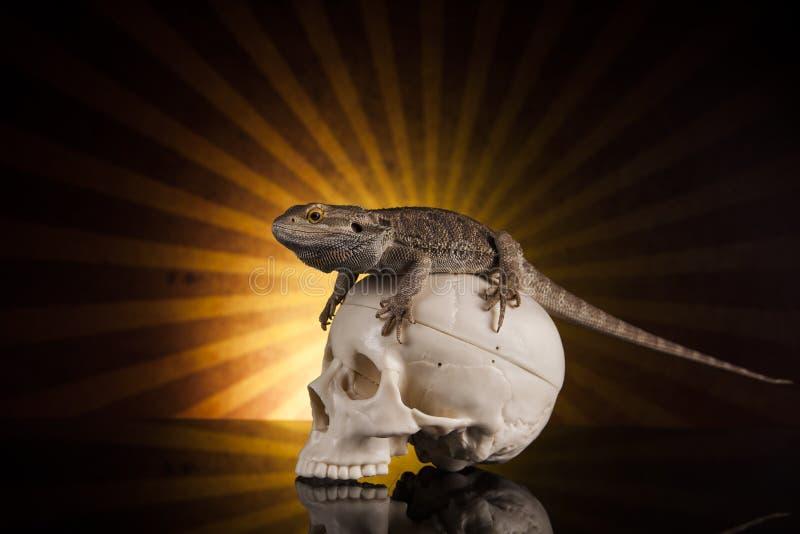 Dragon lizard and human skull stock image