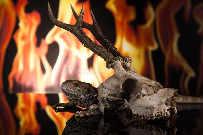 Dragon lizard next deer skull royalty free stock images