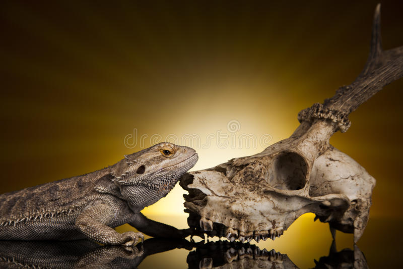 Dragon lizard royalty free stock image