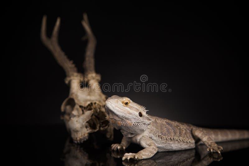 Dragon lizard stock photo