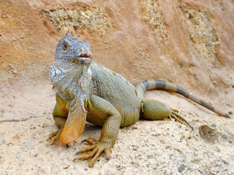 Dragon lizard on rocks stock images