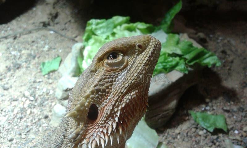 Dragon Looking Up barbudo foto de archivo libre de regalías