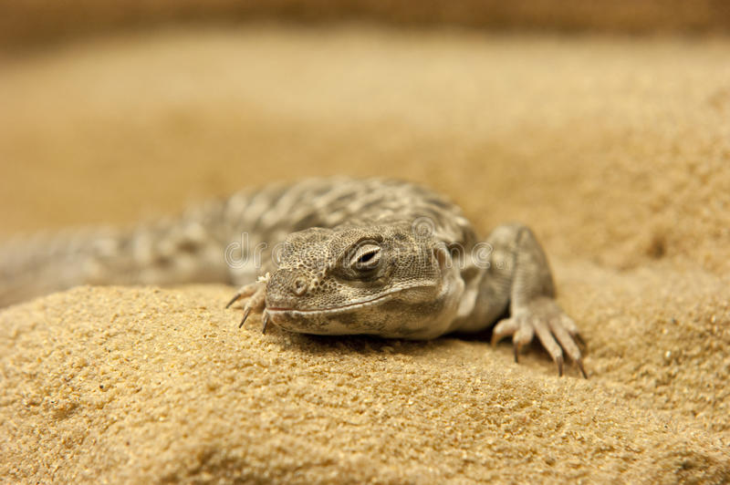 Download Dragon Portrait Royalty Free Stock Images - Image: 16237679