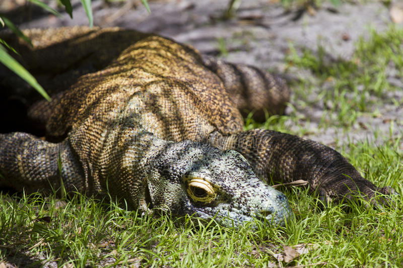 The Dragon Rests. Komodo Dragon resting in the shade royalty free stock photography