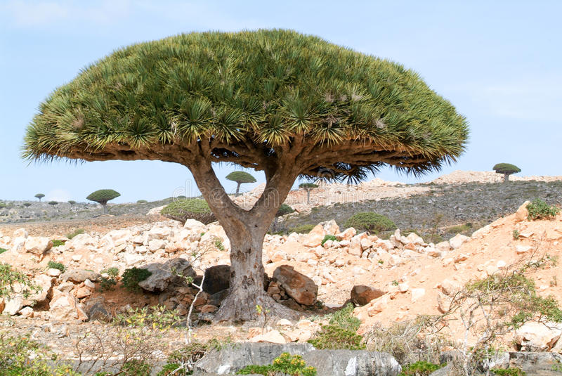 Dragon's Blood Tree at the island of Socotra royalty free stock image