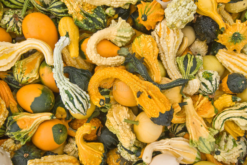 Dragon squash. A bin full of dragon squash for sale at a roadside vendor. Keremeos,BC,Canada royalty free stock images