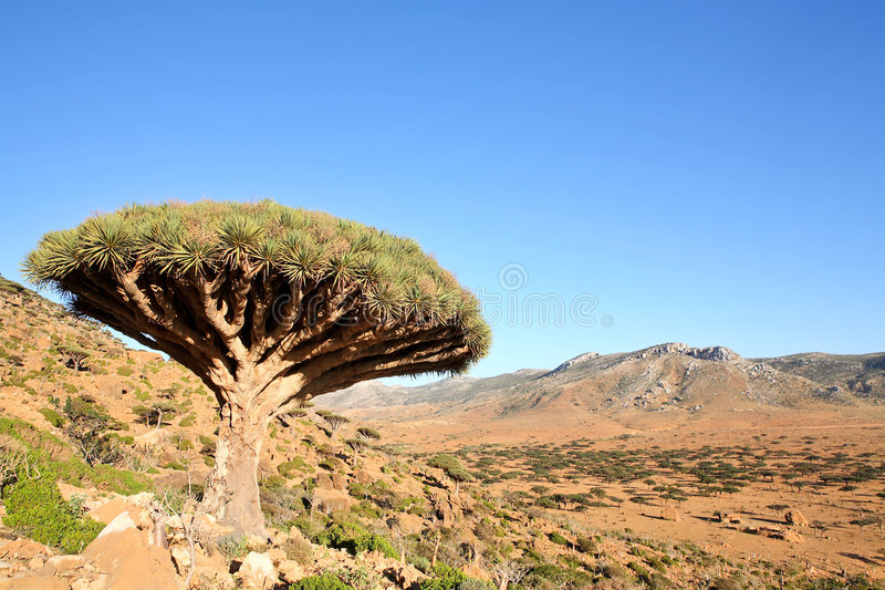 Dragon tree stock photo