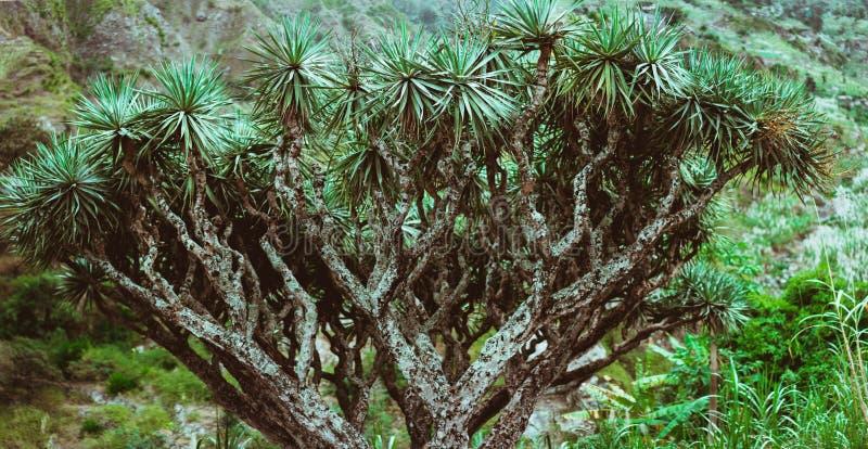 Dragon Tree em Santo Antao, Cabo Verde Cabo Verde fotos de stock
