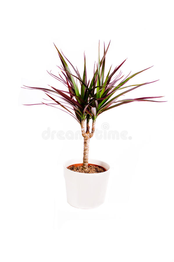 Dragon tree planted royalty free stock photo