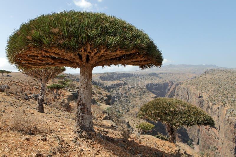 Dragon tree with Socotra mountains background. Dragon tree - Dracaena cinnabari - Dragon's blood - endemic tree from Soqotra, Yemen stock image