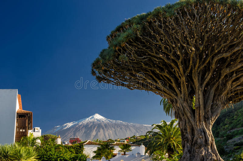 Dragon tree and Teide. Dragon tree in Icod de los vinos and Teide on Tenerife stock photo
