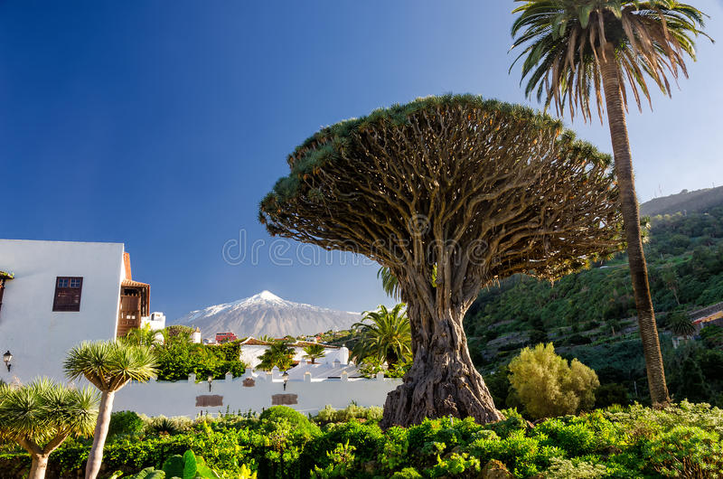 Dragon tree and Teide. Dragon tree in Icod de los vinos and Teide on Tenerife royalty free stock photos