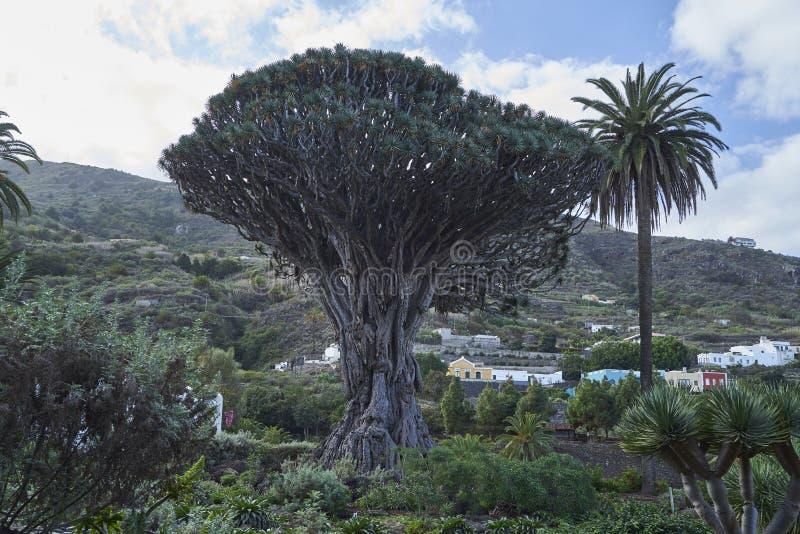 Dragon Tree Tenerife royalty free stock photos
