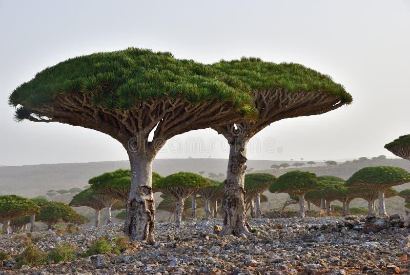 Endemic Dragon tree of Socotra Island on Yemen stock photo