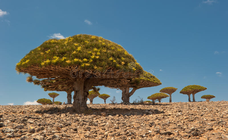 Dragon trees at Dixam plateau, Socotra, Yemen royalty free stock image