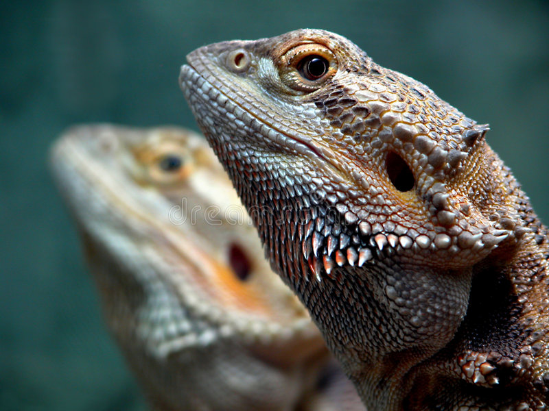 Download Dragon Twins stock photo. Image of bearded, watching, scaly - 12234