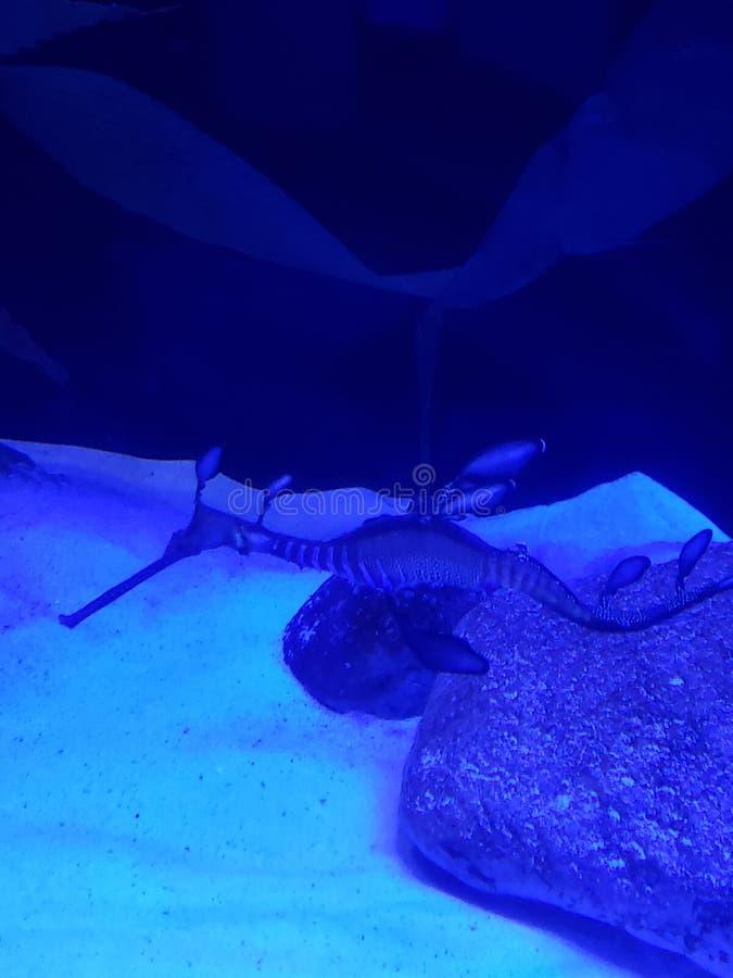 Dragon Weedy de mer images libres de droits