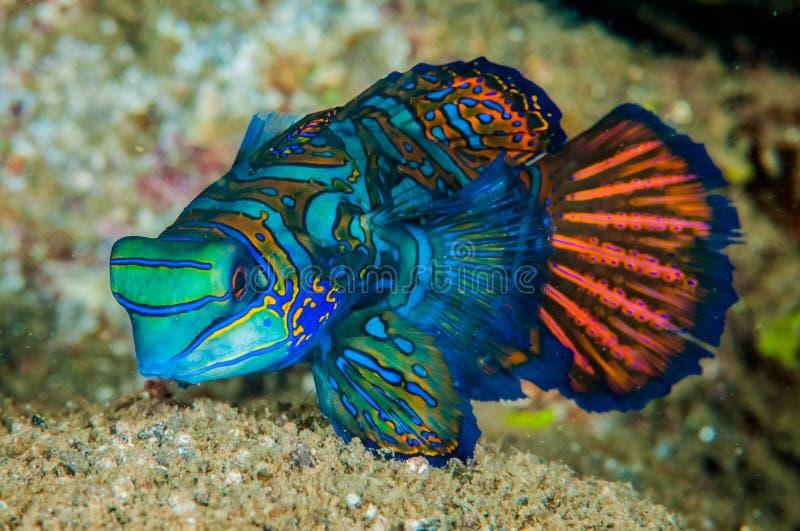 Dragonet mandarinfish in Banda, Indonesia underwater photo stock image