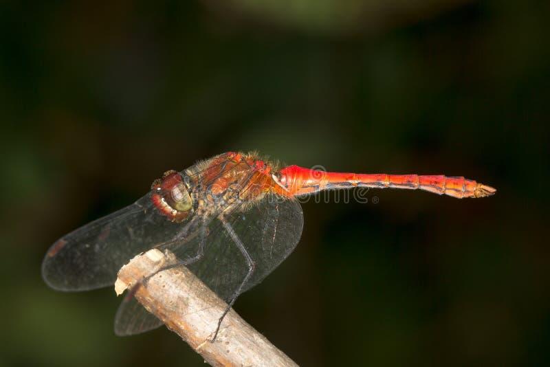 dragonf Rojo-veteado del darter (fonscolombii de Sympetrum) fotografía de archivo