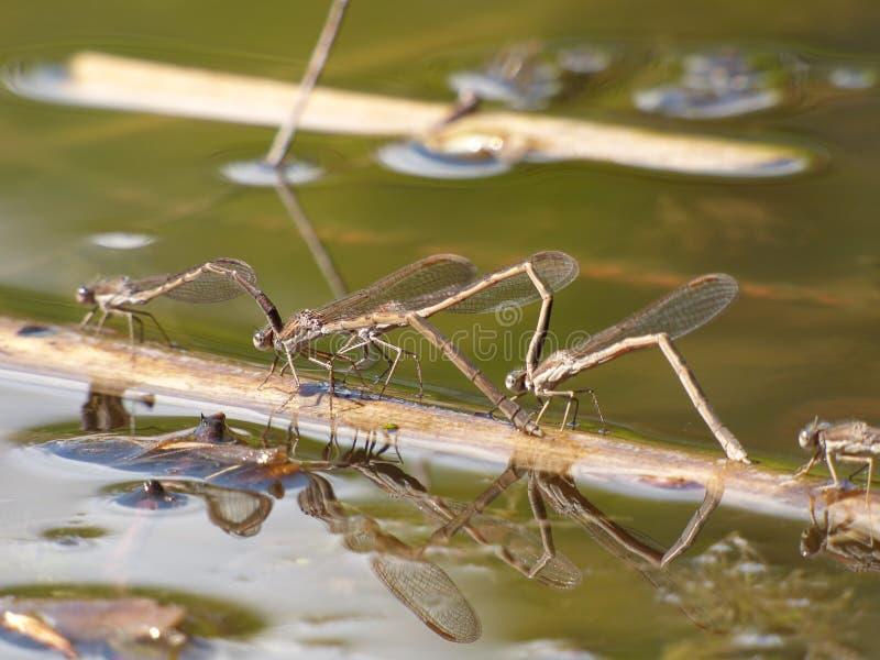 Dragonflies в влюбленности стоковая фотография rf