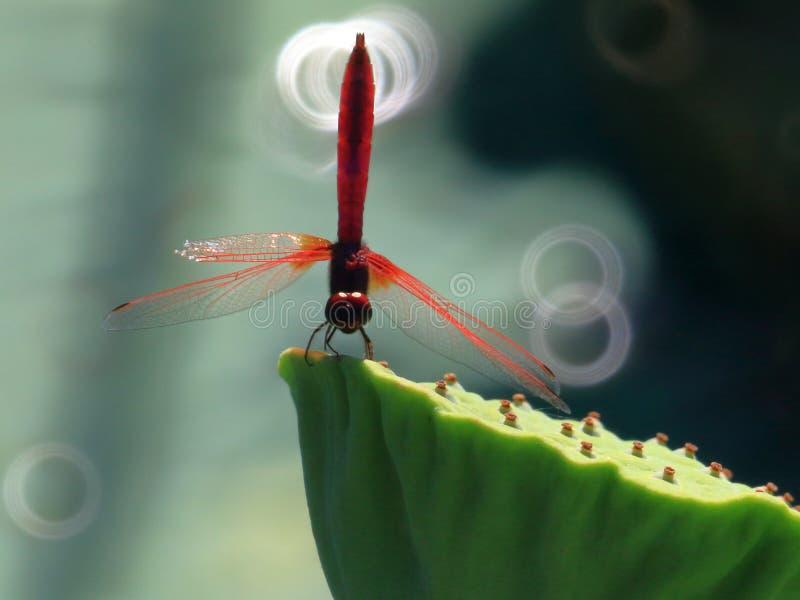 Dragonflies в освещают контржурным светом стоковое изображение