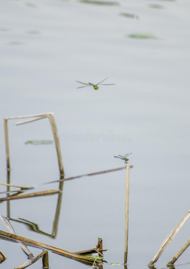 Dragonflies в пруде стоковое фото rf