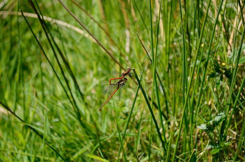Dragonflies держат совместно на стержнях травы стоковое изображение rf