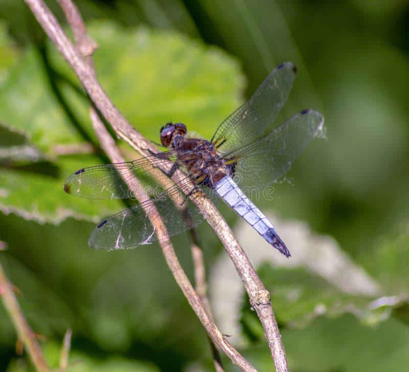Dragonflies имеют очень объемистую голову, глаза составили ommatidia около 50 000 и относительно коротких антенн стоковая фотография rf
