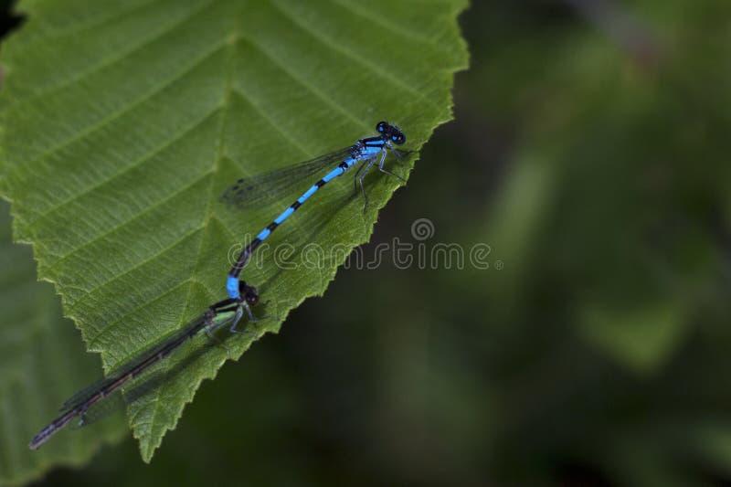2 dragonflies на лист стоковое изображение rf