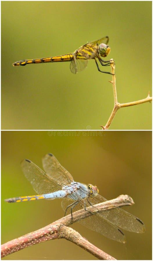 dragonflies стоковые изображения