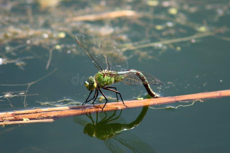 dragonflies стоковое фото rf