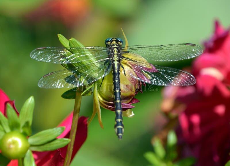 dragonflies стоковое фото