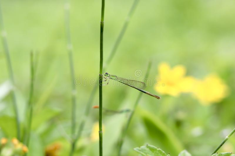Dragonflies bask in the morning, removing the dew on its body royalty free stock photography
