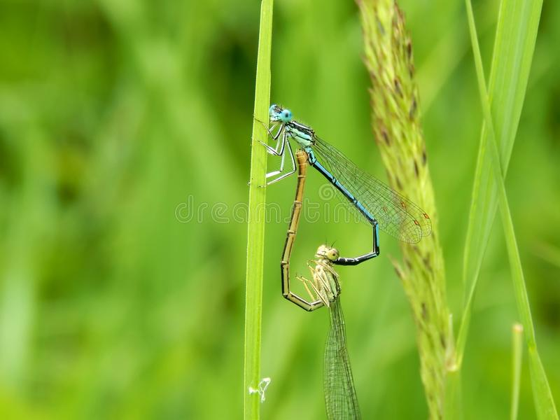 Dragonflies formed a heart shape. Closeup stock images