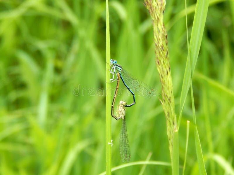 Dragonflies formed a heart shape. Closeup stock photos