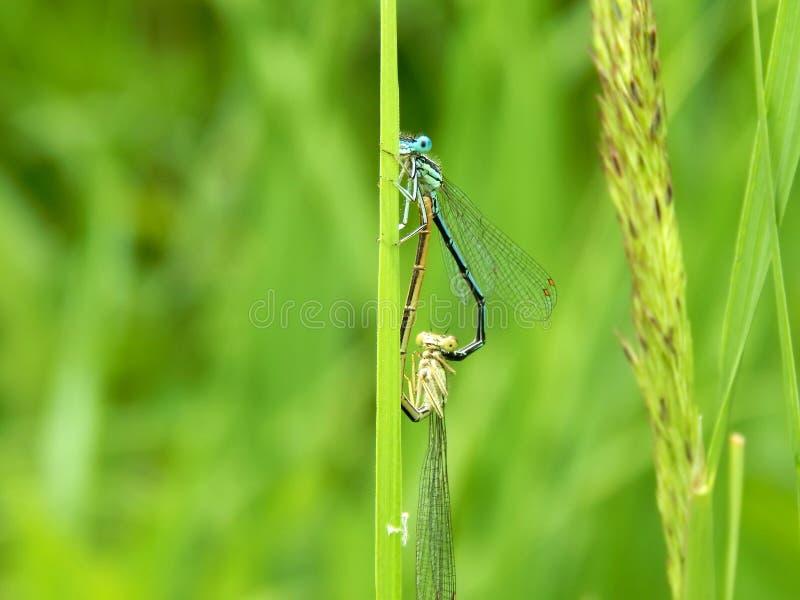 Dragonflies formed a heart shape. Closeup stock image