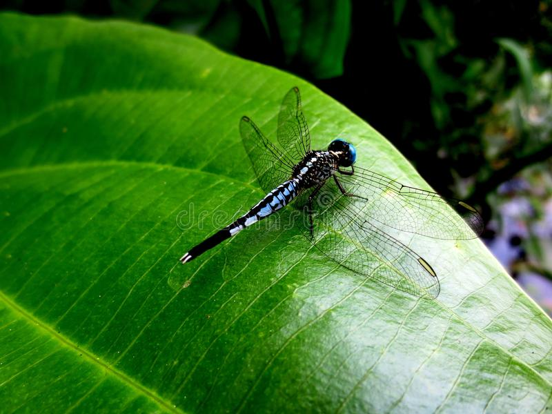 The dragonflies are on the green leaves stock photo