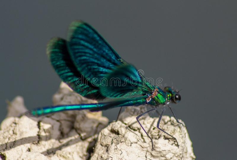 The dragonflies have a very voluminous head, the eyes made up of about 50,000 ommatidia and relatively short antennae; the two pai. Rs of wings, almost equal royalty free stock image