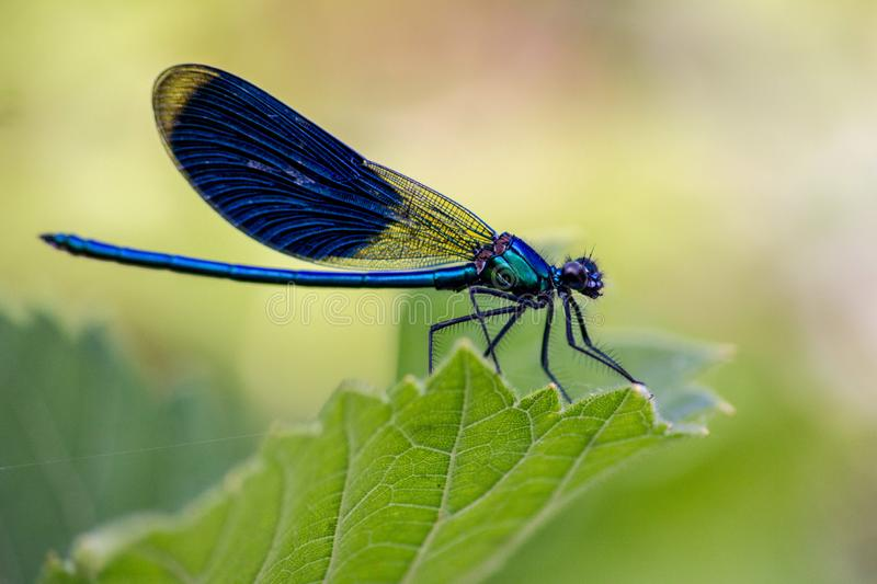 The dragonflies have a very voluminous head, the eyes made up of about 50,000 ommatidia and relatively short antennae; the two pai. Rs of wings, almost equal stock photography
