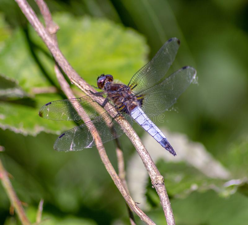 The dragonflies have a very voluminous head, the eyes made up of about 50,000 ommatidia and relatively short antennae. The two pairs of wings, almost equal royalty free stock photography