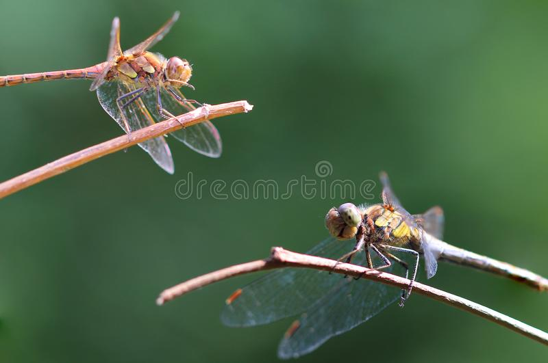 Dragonflies Macro taken in Chicksands August 2017. stock photography