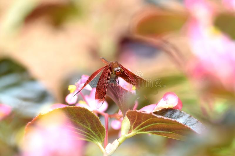 Dragonflies are maroon with maroon wings royalty free stock photos