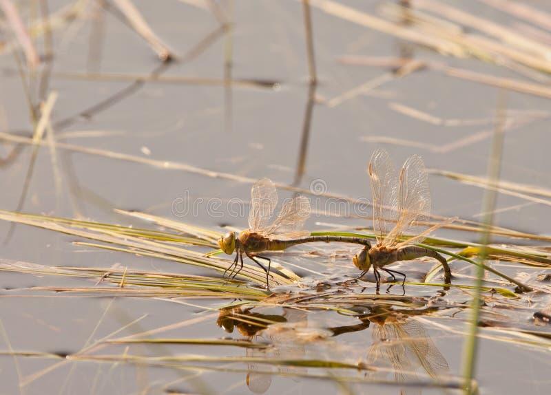 Dragonflies mating stock photos