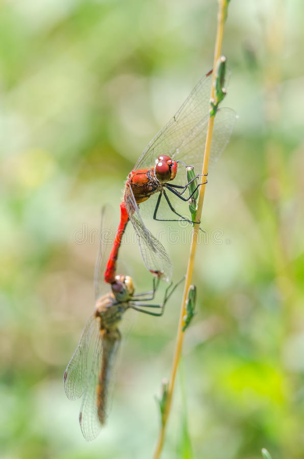 Dragonflies Mating stock images