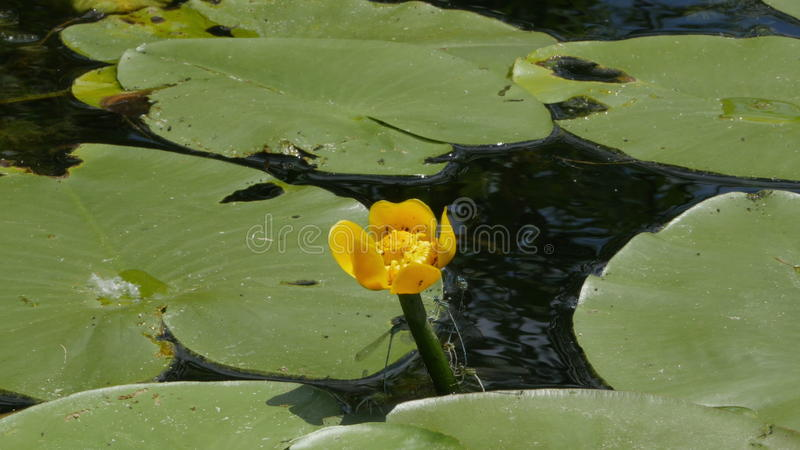 Dragonflies mating and flying around water-lily. Veliki Backi, Sombor, Serbia. Small ragonflies mating and flying around water-lily. Veliki Backi, Sombor stock video footage