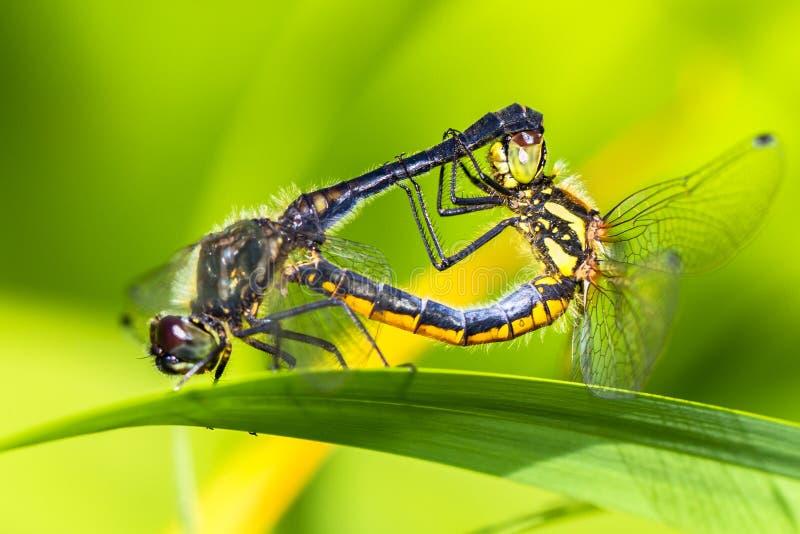 Dragonflies mating (Keeled Skimmer) stock image
