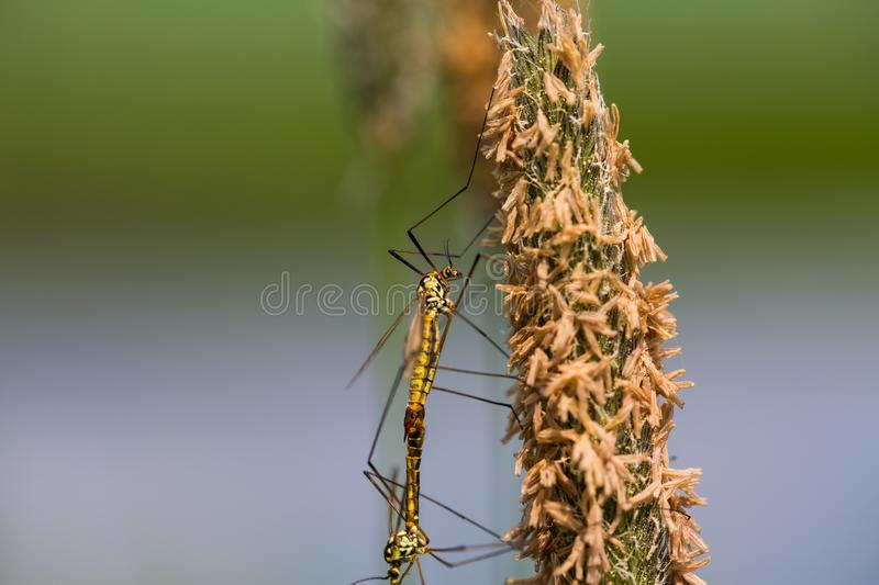 Dragonflies mating at the pond stock photo