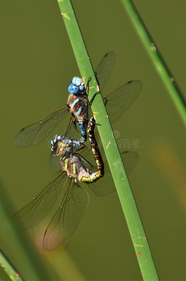 Dragonflies mating stock image