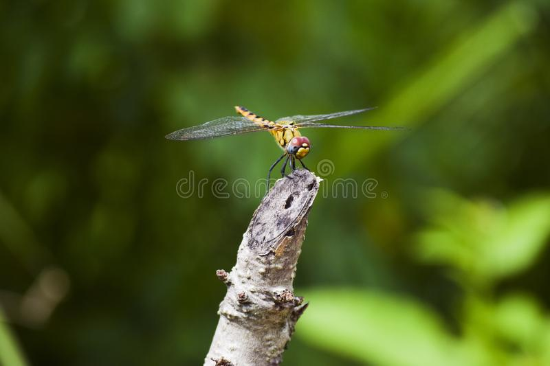 Dragonflies mating, mating wheel, dragonfly hear A mating pair of Common Darter Dragonfly, Sympetrum striolatum, perched on a reed stock photography