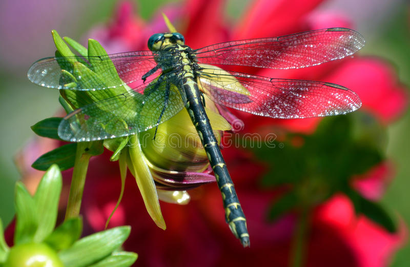 dragonflies royalty free stock photography
